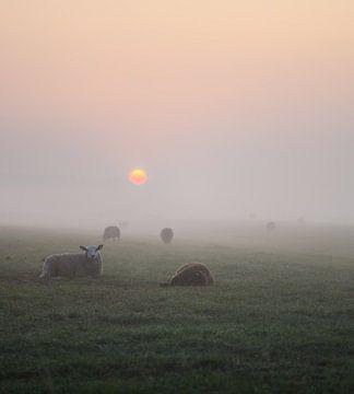 schapen, ochtendzon en mist van Tania Perneel