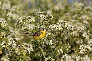 Gelbe Bachstelze 2 (Vogel)