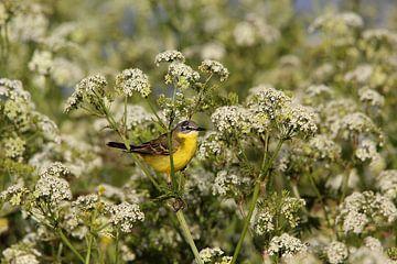 Gele kwikstaart 2 (vogel) van Leon Verra