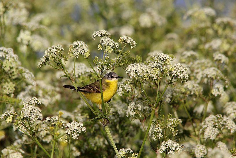 Gelbe Bachstelze 2 (Vogel) von Leon Verra