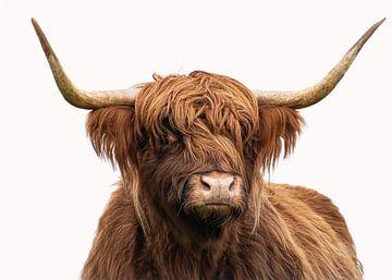 Portret Schotse hooglander in kleur met witte achtergrond van Marjolein van Middelkoop