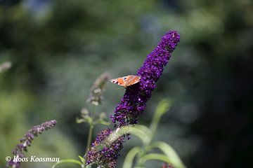 Vlinder in de Natuur van Koos Koosman