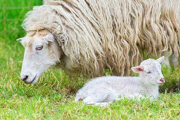 Close up schaap met pasgeboren lammetje in de lente van Ben Schonewille