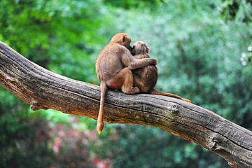 Zwei Affen in Umarmung - Liebe von Chihong