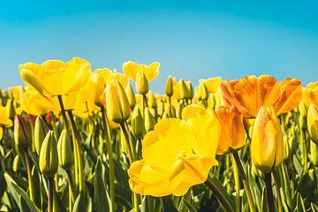 Tulips sur rosstek ®