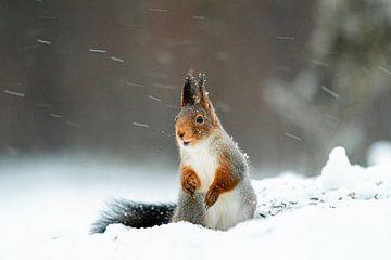eekhoorn in de sneeuw van Ed Klungers