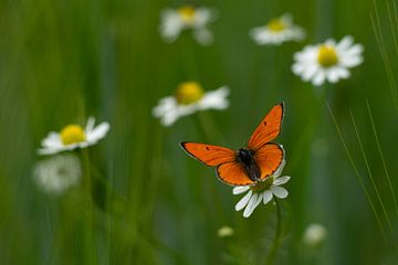 Schmetterling auf einem Gänsebümchen von Laura Büttner
