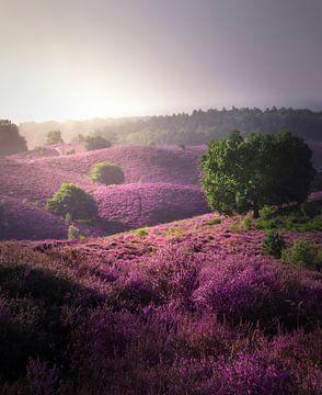 Violettes Heidekraut auf der Posbank von Rob Visser