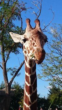 Giraffe aan het eten van Leonie Vreeswijk-Feith