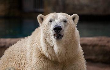 Een ijsbeer recht van voren van