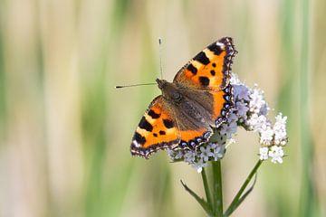 Kleine vos vlinder von Hilda Weges