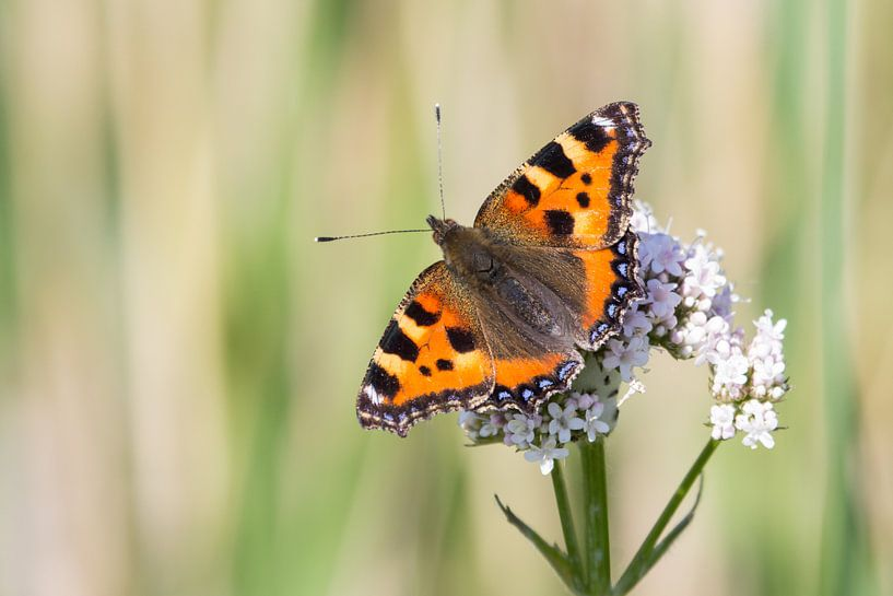Kleine vos vlinder van Hilda Weges