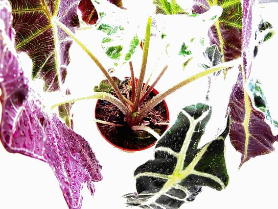 Kamerplant: Alocasia Zebrina | Olifantsoor 4 van MoArt (Maurice Heuts)
