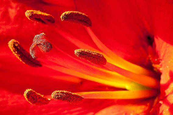 Red Lily van Studio voor Beeld