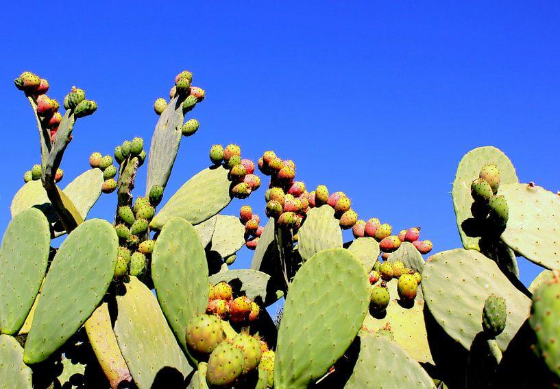 cactus in Italië in volle bloei van Joost Brauer