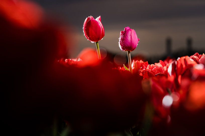 Eigenwijze tulpen in het Nederlandse bollenveld van Fotografiecor .nl