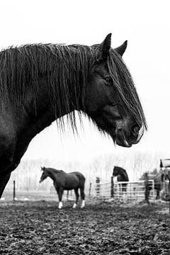 Zwart tinker paard 3 van Lina Heirwegh