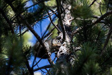 Eekhoorn in de boom van Kimberley Helmendag