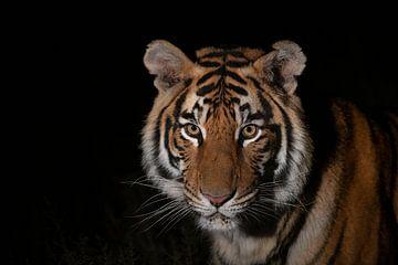 Tiger-Portrait von Jos van Bommel