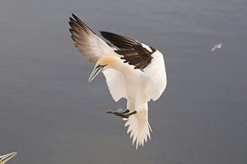 Gannet before  landing sur Peter Zwitser