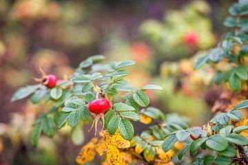 Rode rozenbottel van Ruud Morijn