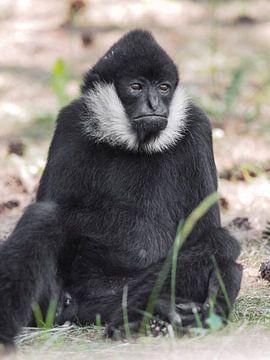 Witwanggibbon : Safaripark Beekse Bergen von Loek Lobel