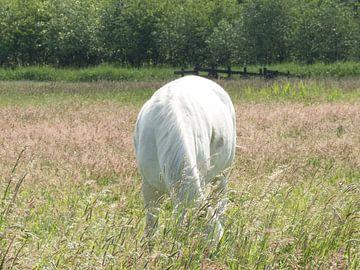Weißes Pferd von JacQ