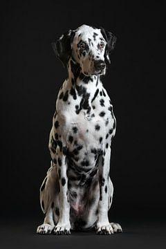 Dalmatiër Dog Hond van Patrick Reymer