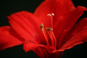 Rode bloem van Ilse Rood