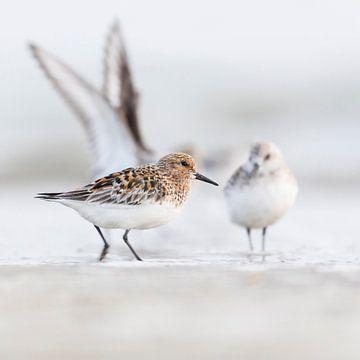Vogels - Drieteenstrandlopers op het Noordzeestrand in zomer en winterkleed van Servan Ott