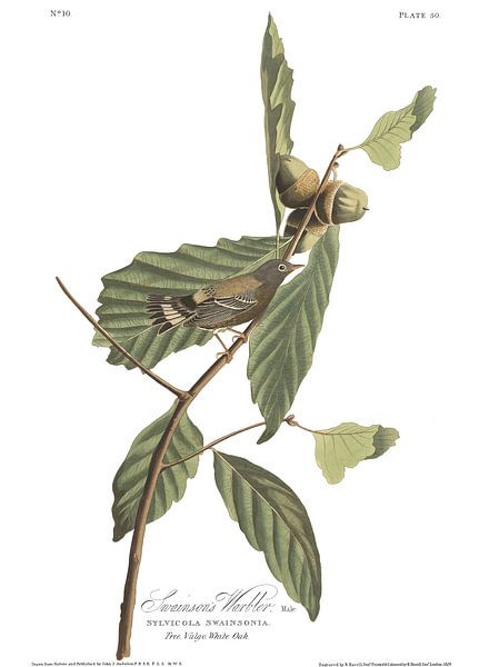 Magnoliazanger van Birds of America