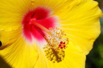 gele hibiscus van Torsten Krüger