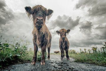 Schotse Hooglanders van Kevin Baarda