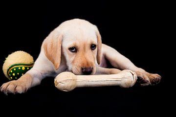 blond labrador puppy van Annelies Cranendonk