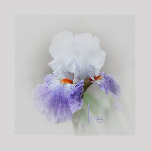 Iris -1  van Yvonne Blokland