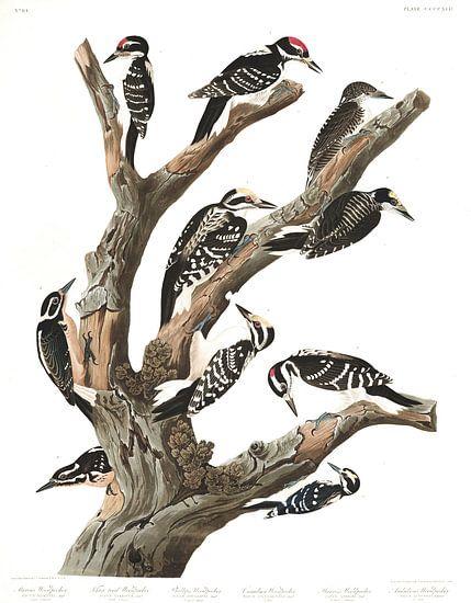 Amerikaanse Drieteenspecht van Birds of America