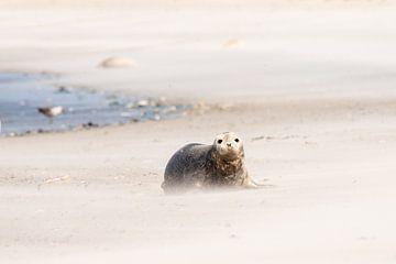 Robbe am Strand von Ed Klungers