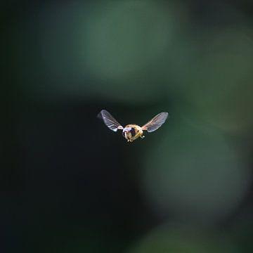 Bij in volle vlucht met donkere achtergrond van Harrie Muis