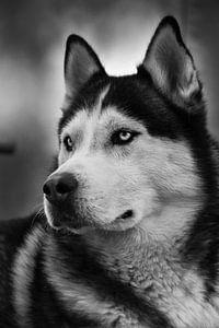 Husky Igor 5 zwart wit van Samanta van Wezel
