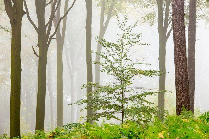 Mistig bos van Sam Mannaerts Natuurfotografie