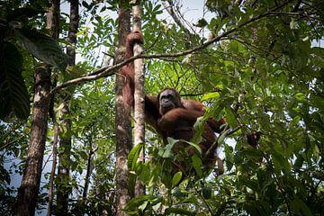 Oerang Oetan kijkt rustig toe in het nationaal park Semenggoh te Borneo van Wolfgang Stollenwerk