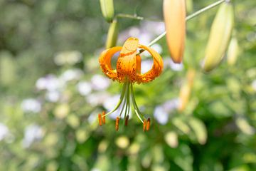 Tigerlilie von Yannick uit den Boogaard