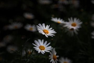 Witte Bloemen van Petro Luft