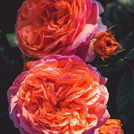 Les roses fleurissent sur Steffen Gierok