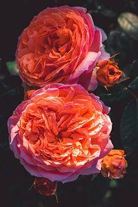 Rozen bloeien van