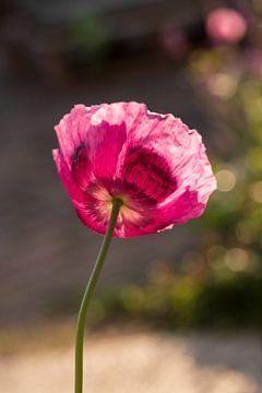roze klaproos van Mirjam Welleweerd