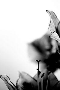 Hartvormige stamper amarylis zwart wit high key van