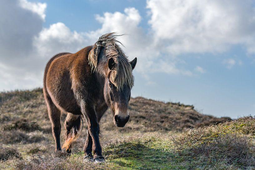 Exmoor pony bollekamer texel van Texel360Fotografie Richard Heerschap