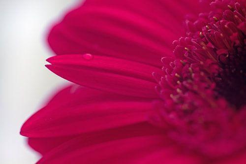 Close-up roze gerbera van