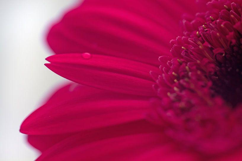 Close-up roze gerbera van Saskia Bon